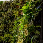 Living Wall Design Project, Mendocino Farms, Del Mar