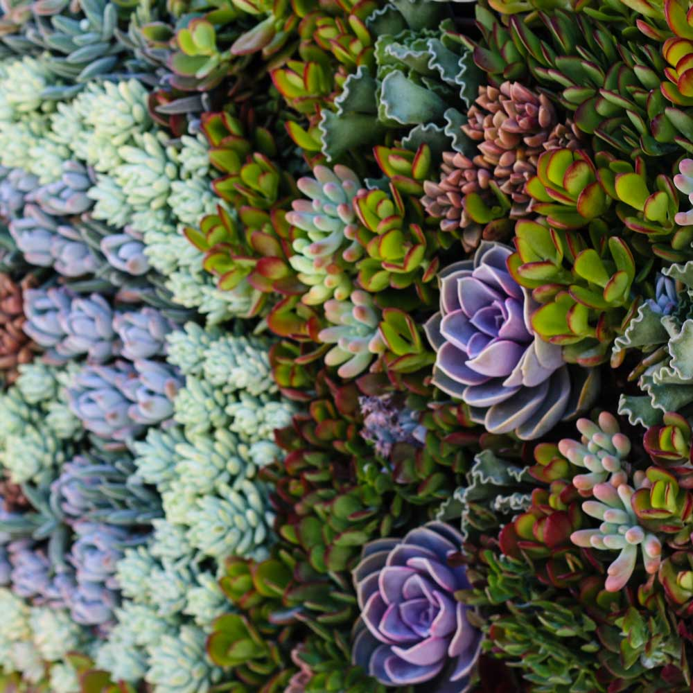 Succulent Living Walls Services